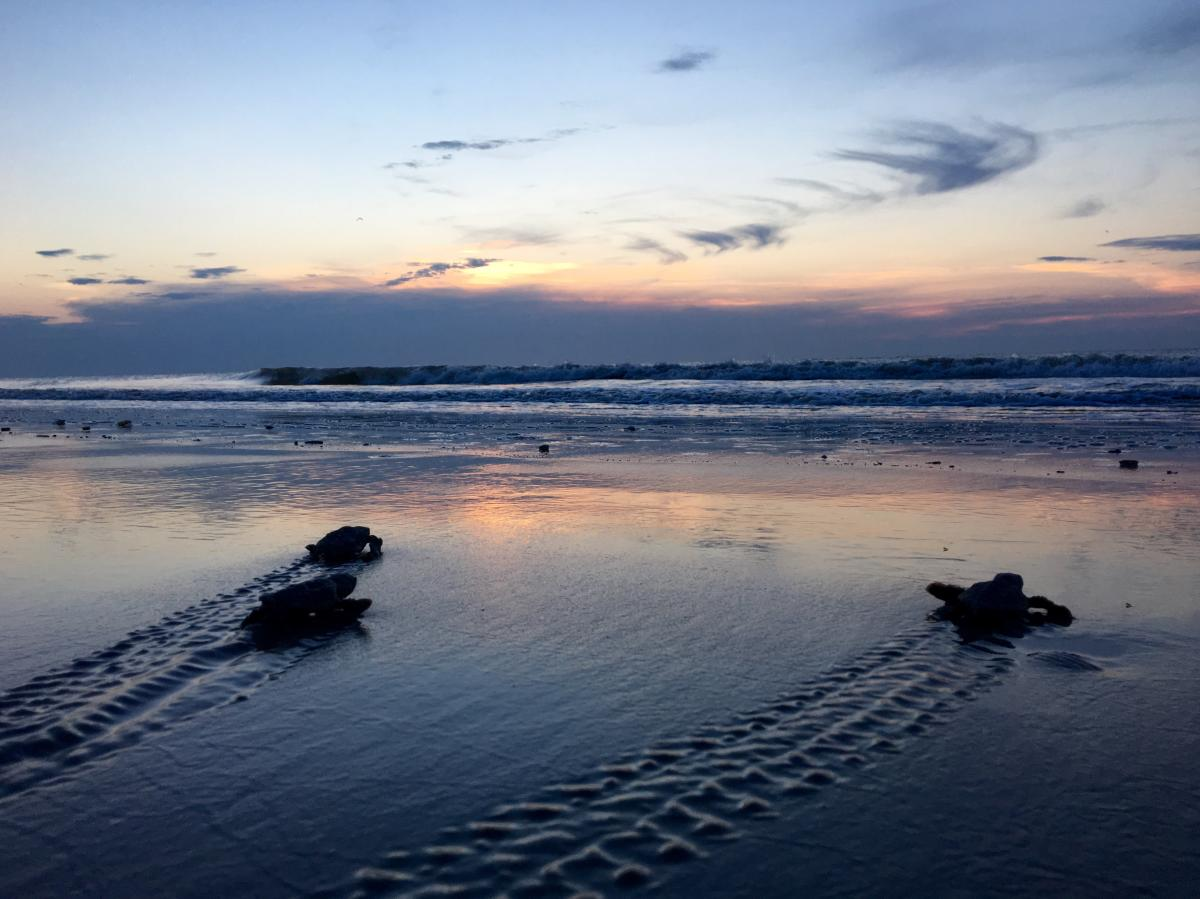 Baby sea turtles make their way to the ocean at dawn break at Sea Island, GA
