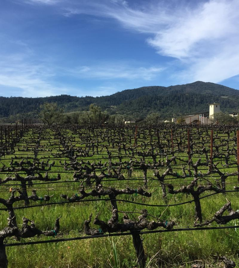 Winter view of vineyards and Robert Mondavi winery in the background.