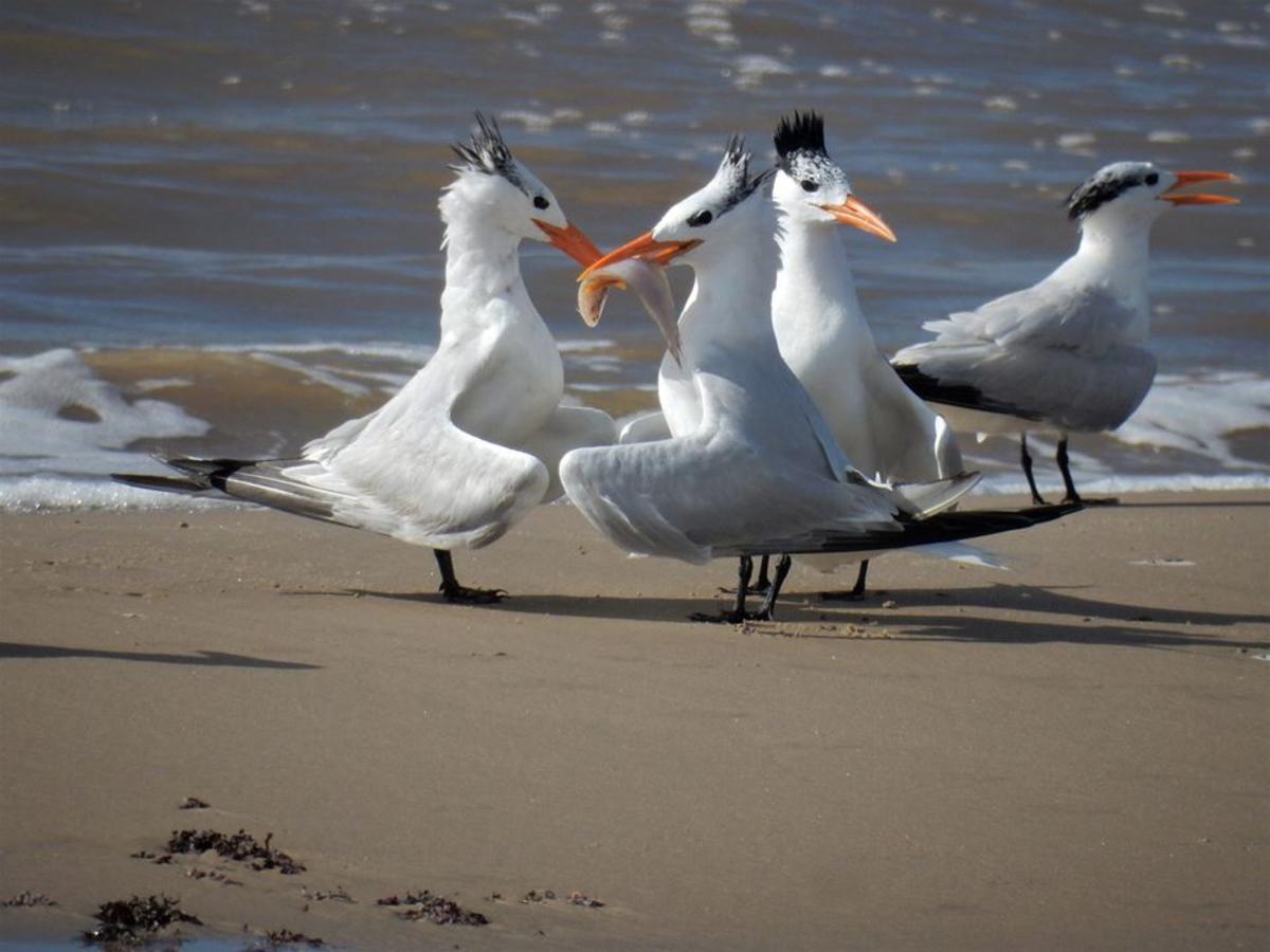 Nesting Terns in Brazosport