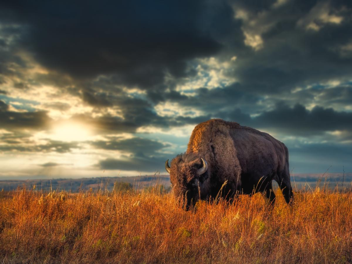 Bison at Maxwell - Limited Use