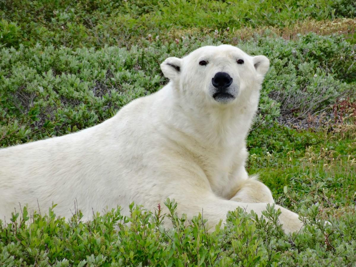Polar bear laying on the tundra near Churchill, Manitoba