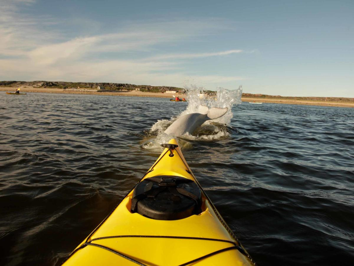 Beluga whale tail splashing in front of kayak with Churchill Northern Studies Centre