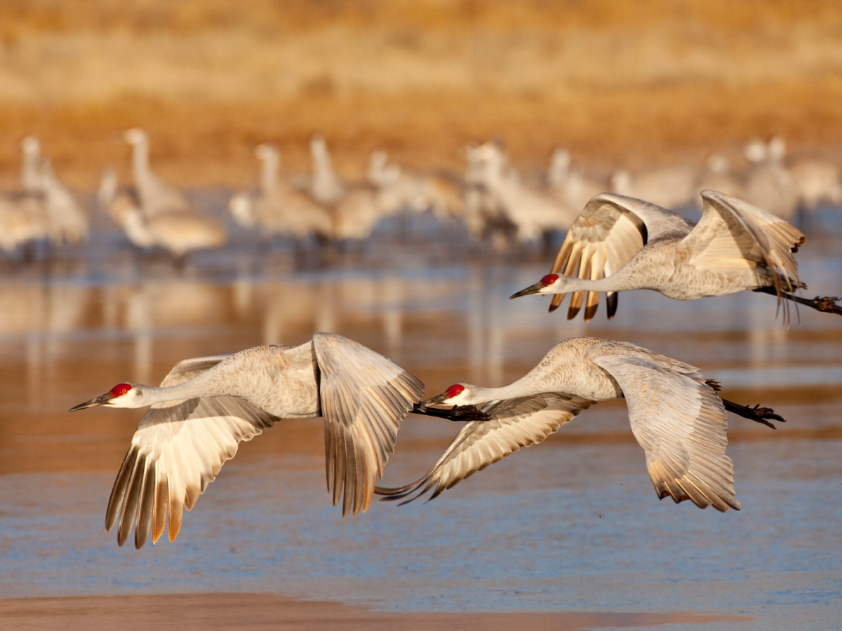 Birds flying over water at Bosque del Apache National Wildlife Refuge in New Mexico