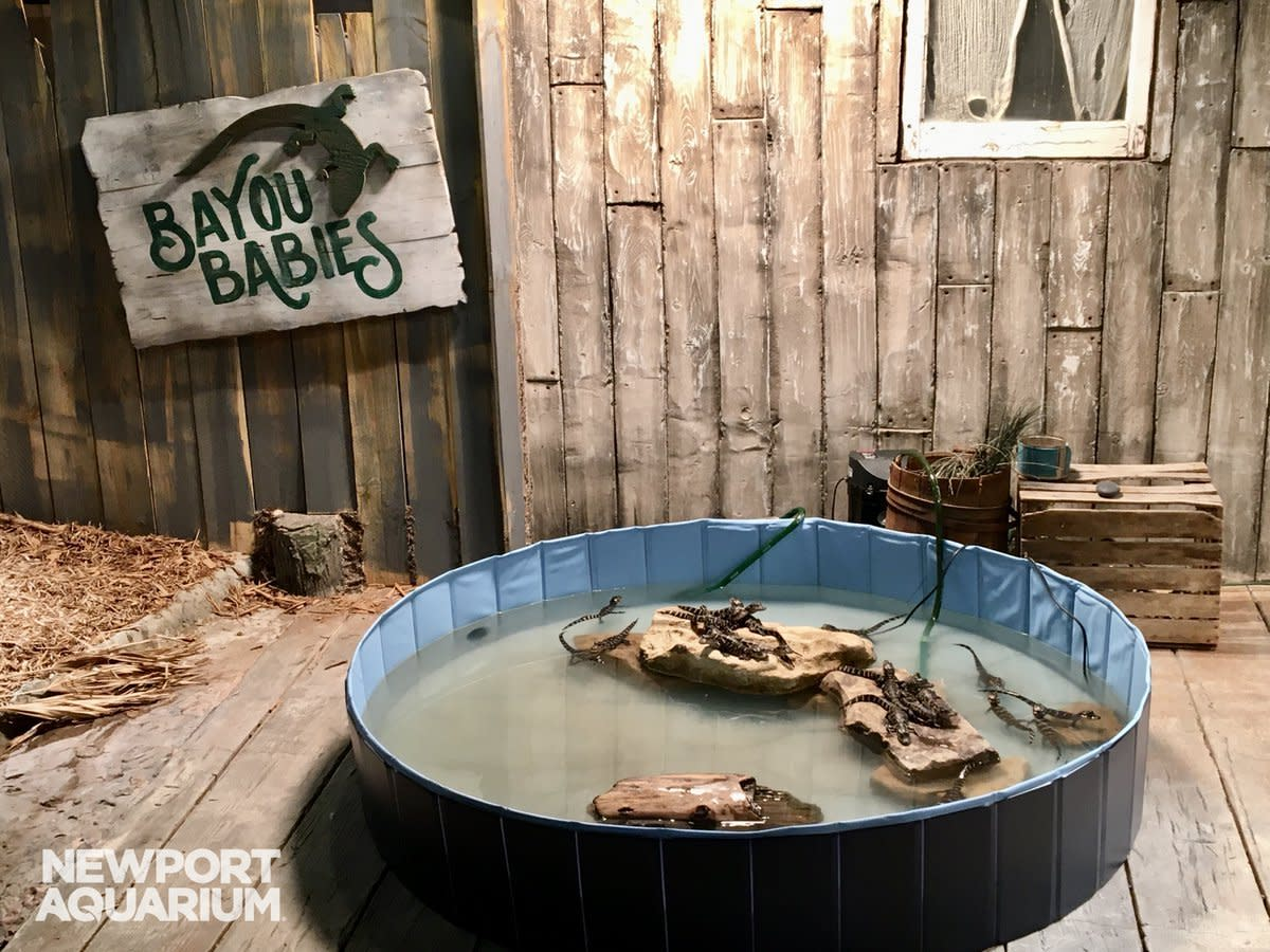 Baby alligators at Newport Aquarium