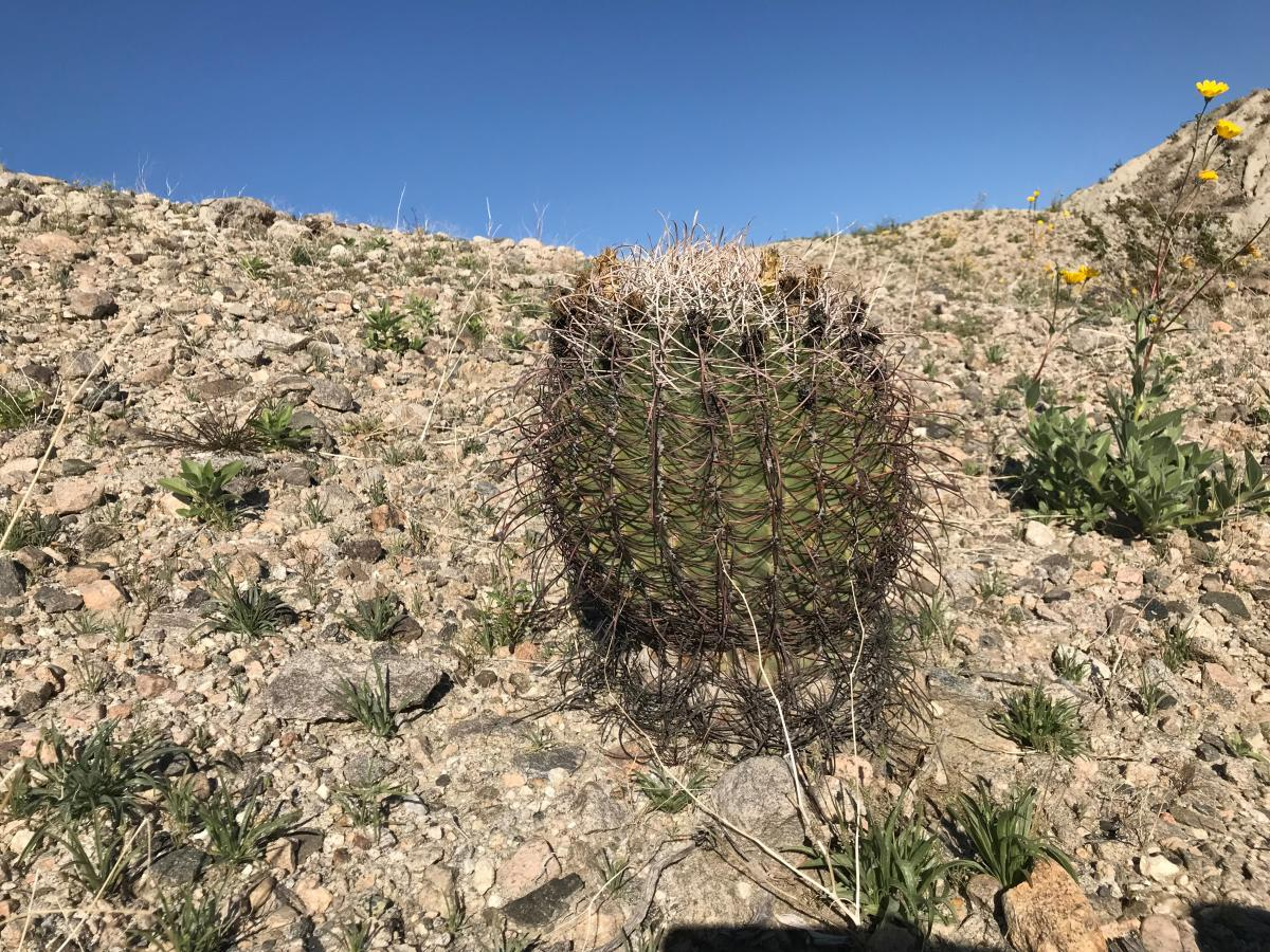 Rare and endangered Red Barrel Cacti found at Metate Ranch.