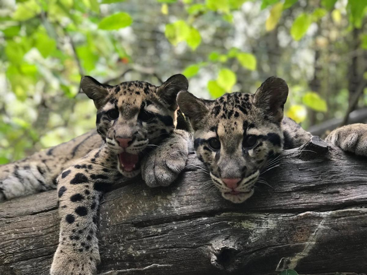Ocelots at National Zoo