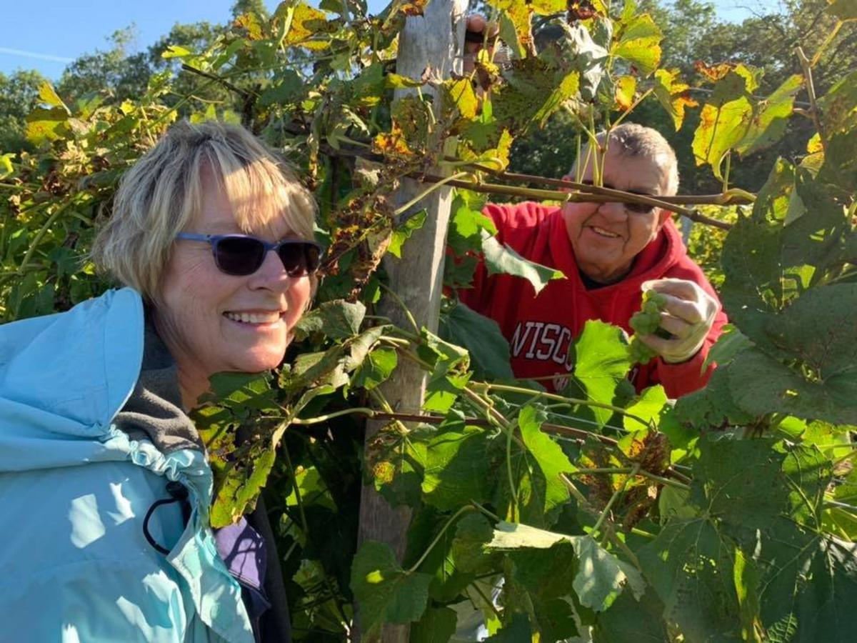 Smiling man and woman picking grapes at Rock Ridge Vineyard in the Stevens Point Area