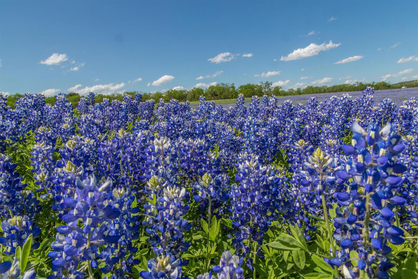 Field of Bluebonnets in Texas