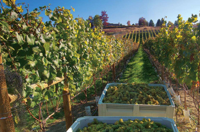 SpearHead Chardonnay Harvest