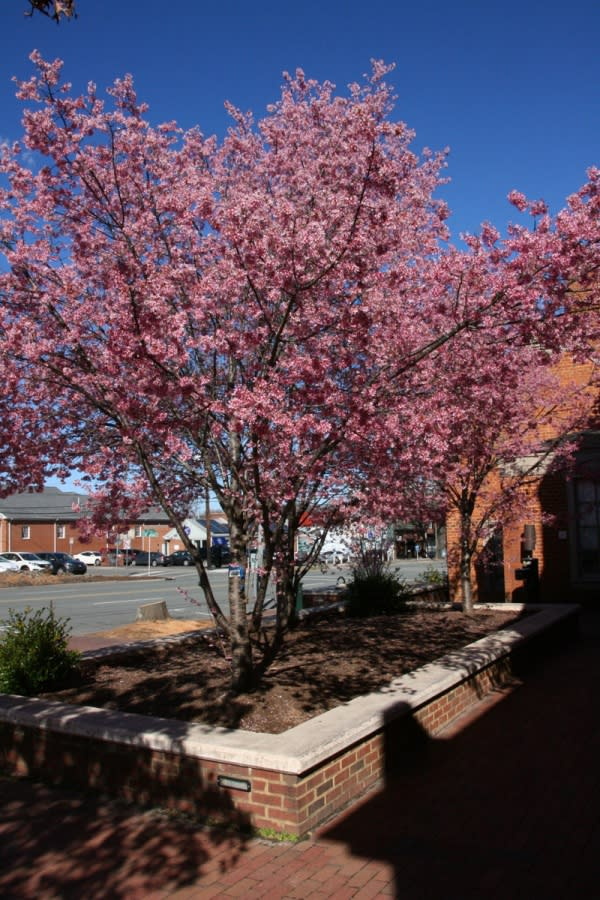 Cherry Trees on Franklin Street