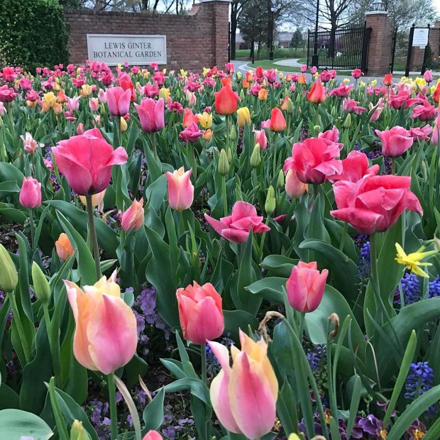 Lewis Ginter Botanical Garden tulips