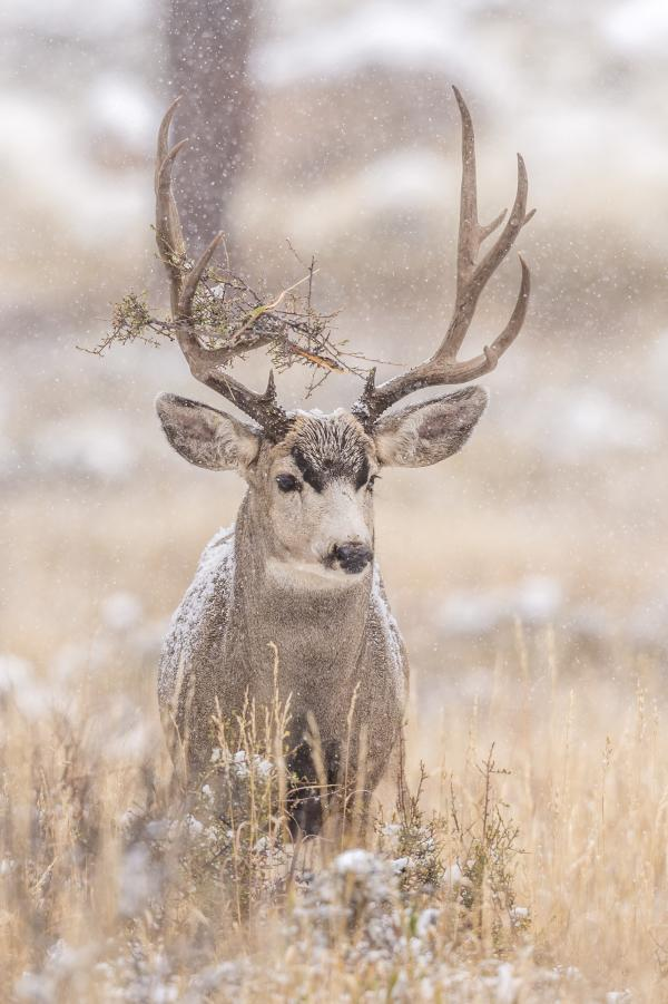 mule deer in estes park colorado