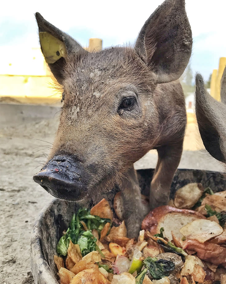 Monte Creek Ranch's pigs eat scraps to ensure no food waste.