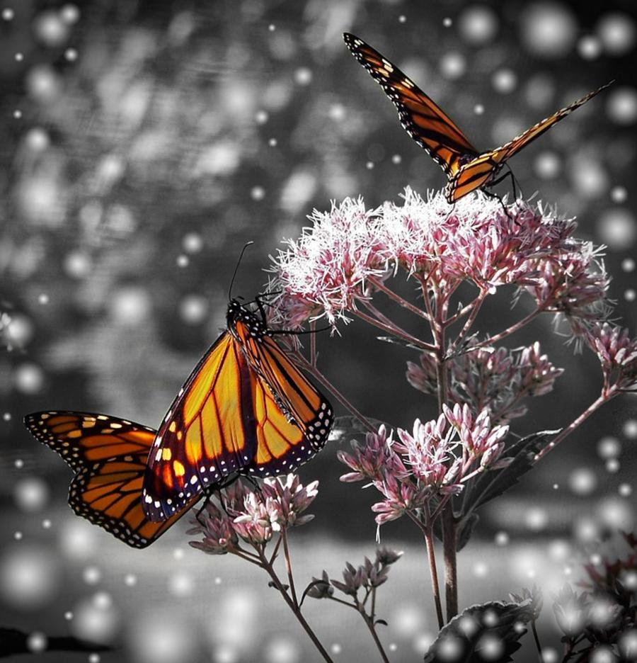 Monarch butterfly generic image