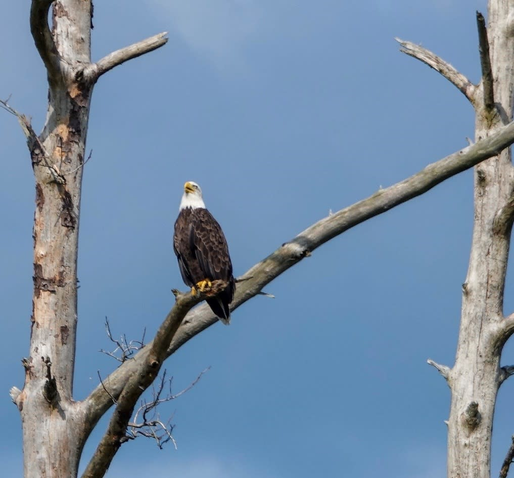 Bald Eagle sitting on bare tree branch at Rainbow Lake