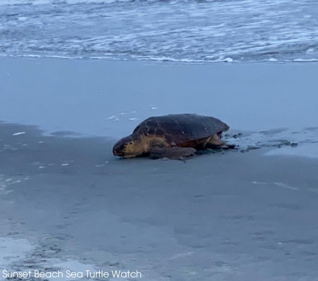 An adult Loggerhead Sea Turtle has come ashore to lay her eggs in the sands of Sunset Beach in North Carolina