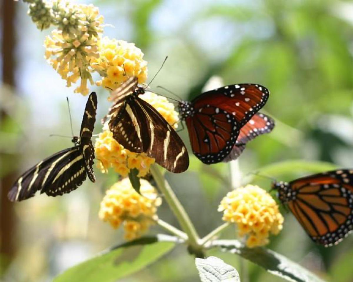 ABQ Butterflies 2