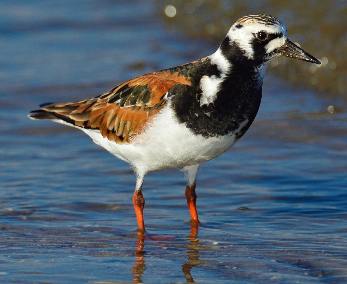 Birding - Port Arthur