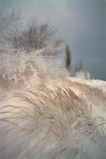 Snowy Dune Grass of Lake Michigan