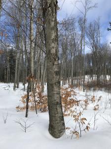 Golden Birch - Palmer Woods