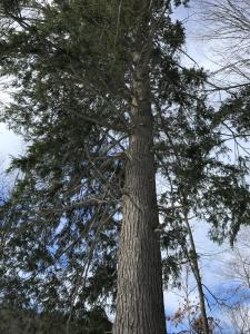 Towering Hemlock - Palmer Woods