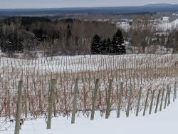 Dormant vineyard blanketed in snow