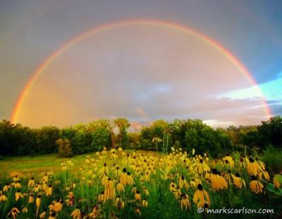 Coneflower Rainbow