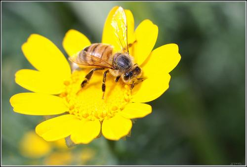 Honeybee by finklez