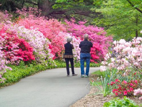 Biltmore Blooms Azaleas