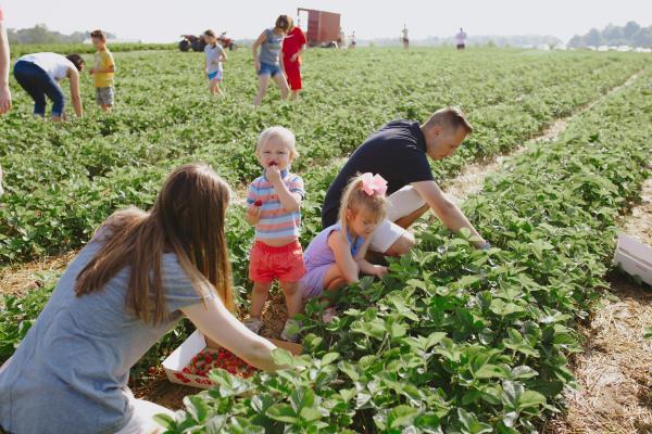 Spencer Farm - strawberry - picking strawberriesPhoto by: Zachary Raber