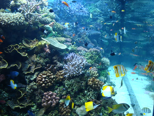 Coral Reefs, Bicolor Anthias', Convict Tangs, and Pyramid Butterflyfish, Monterey Bay Aquarium