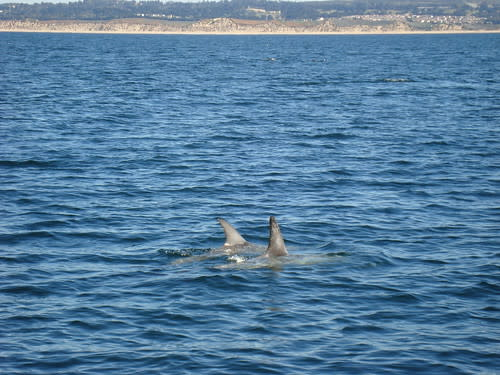 Dolphins playing on Monterey Bay