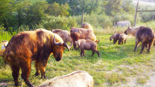 The oddest-looking animal at The Wilds - the Takin