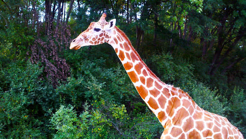A Reticulated Giraffe on her way to dinner