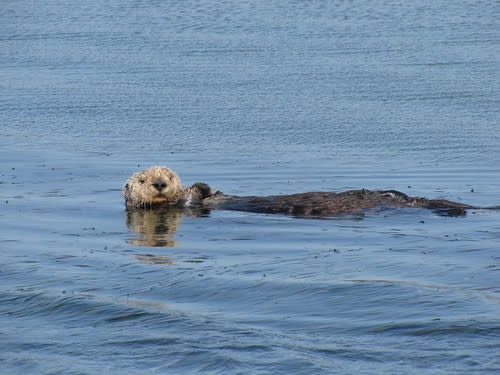 Sea Otter on Elkhorn Slough