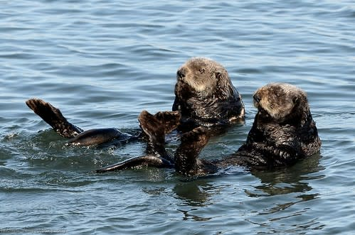 Sea Otter Pair Floating By
