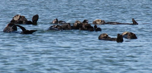 Raft of Sea Otters on Elkhorn Slough