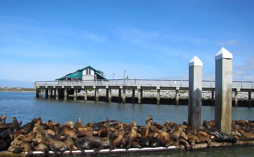 Sea Lions on Elkhorn Slough