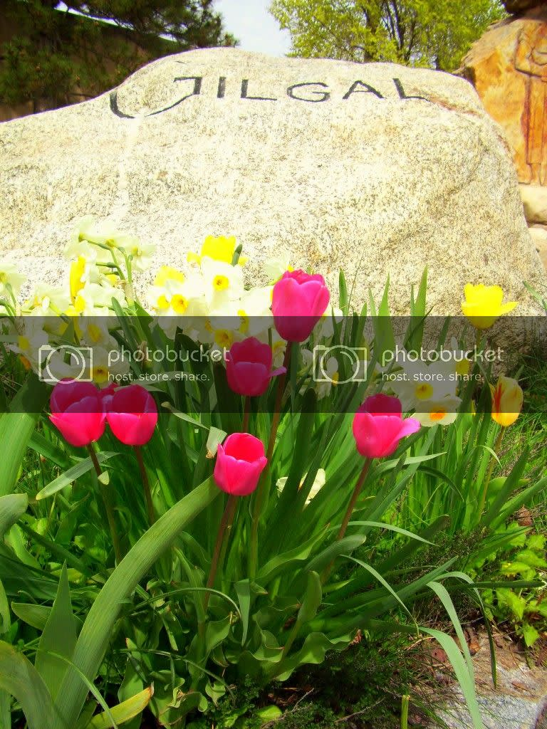 pink and yellow spring flowers in front of rock that says Gilgal, at the entrance to Gilgal Sculpture Garden