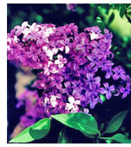 lilac-pic