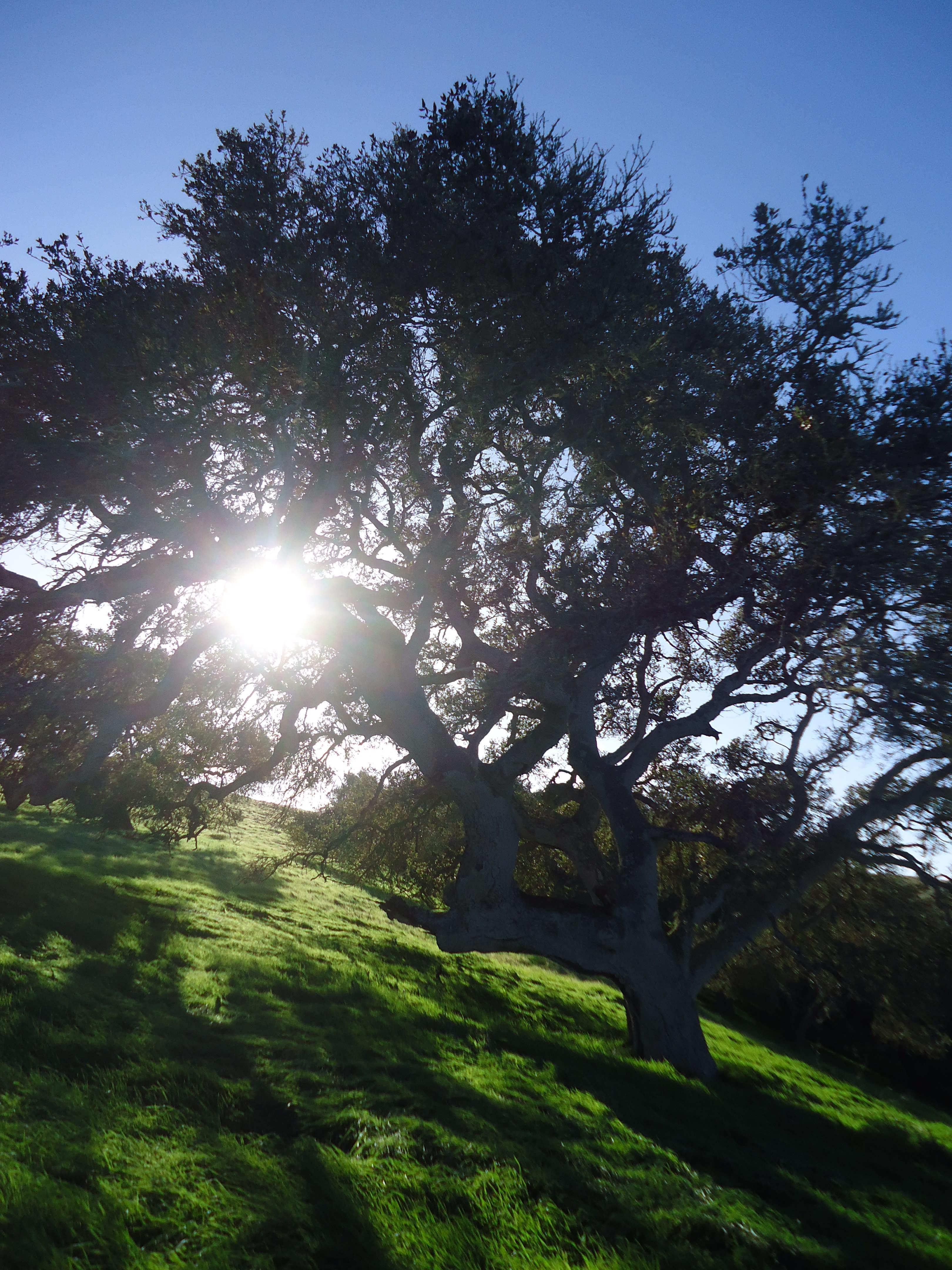 Fort Ord Oak Tree