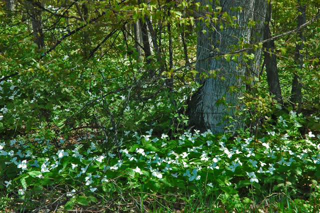 Trilliums in Dappled Shade