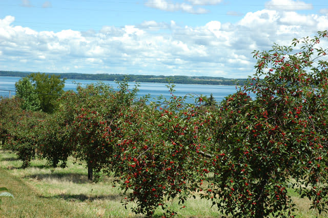 Ripening cherries above Grand Traverse Bay