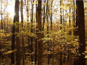 Big Ivy Forest