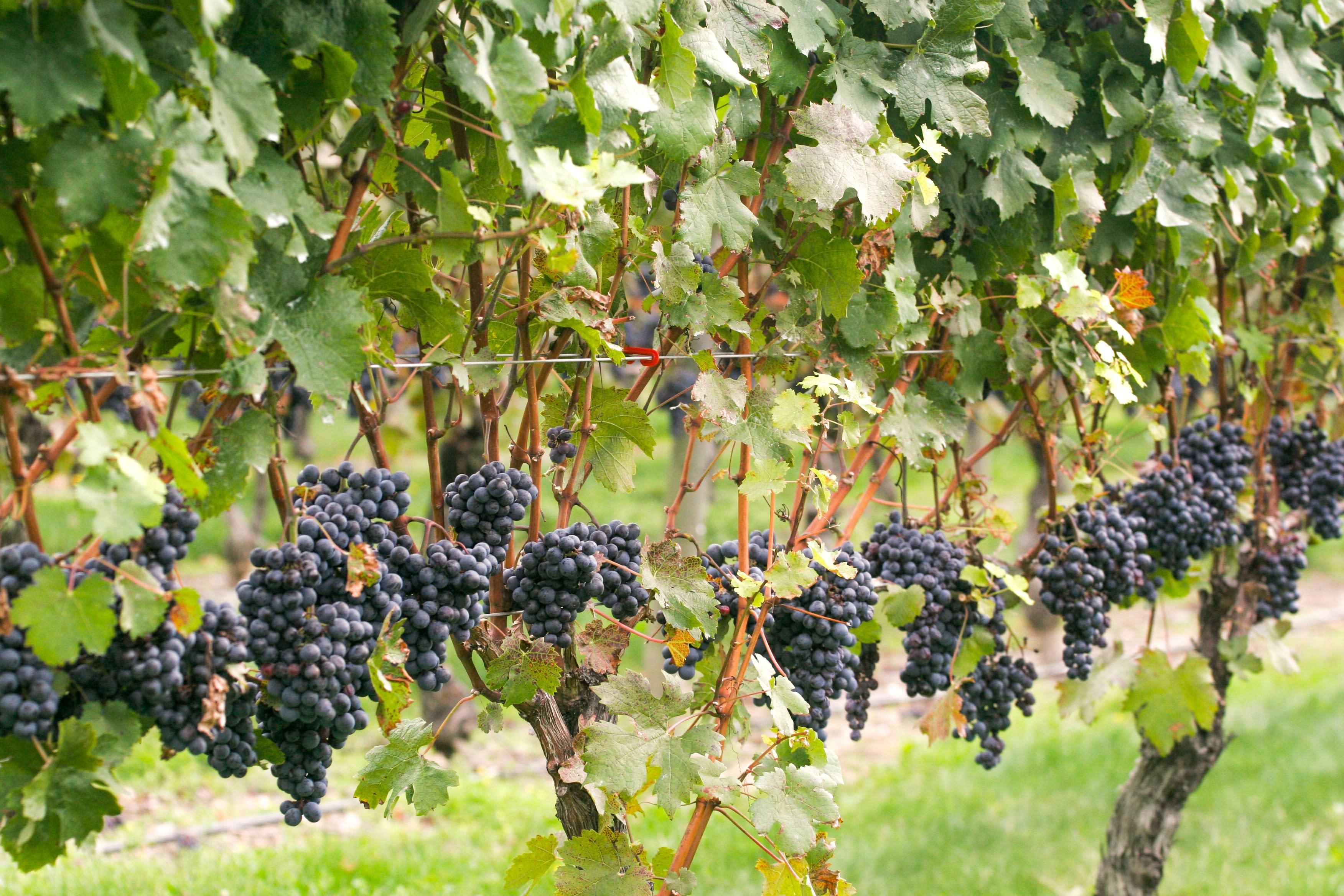 newport vineyards red grapesH_credit Discover Newport-0443