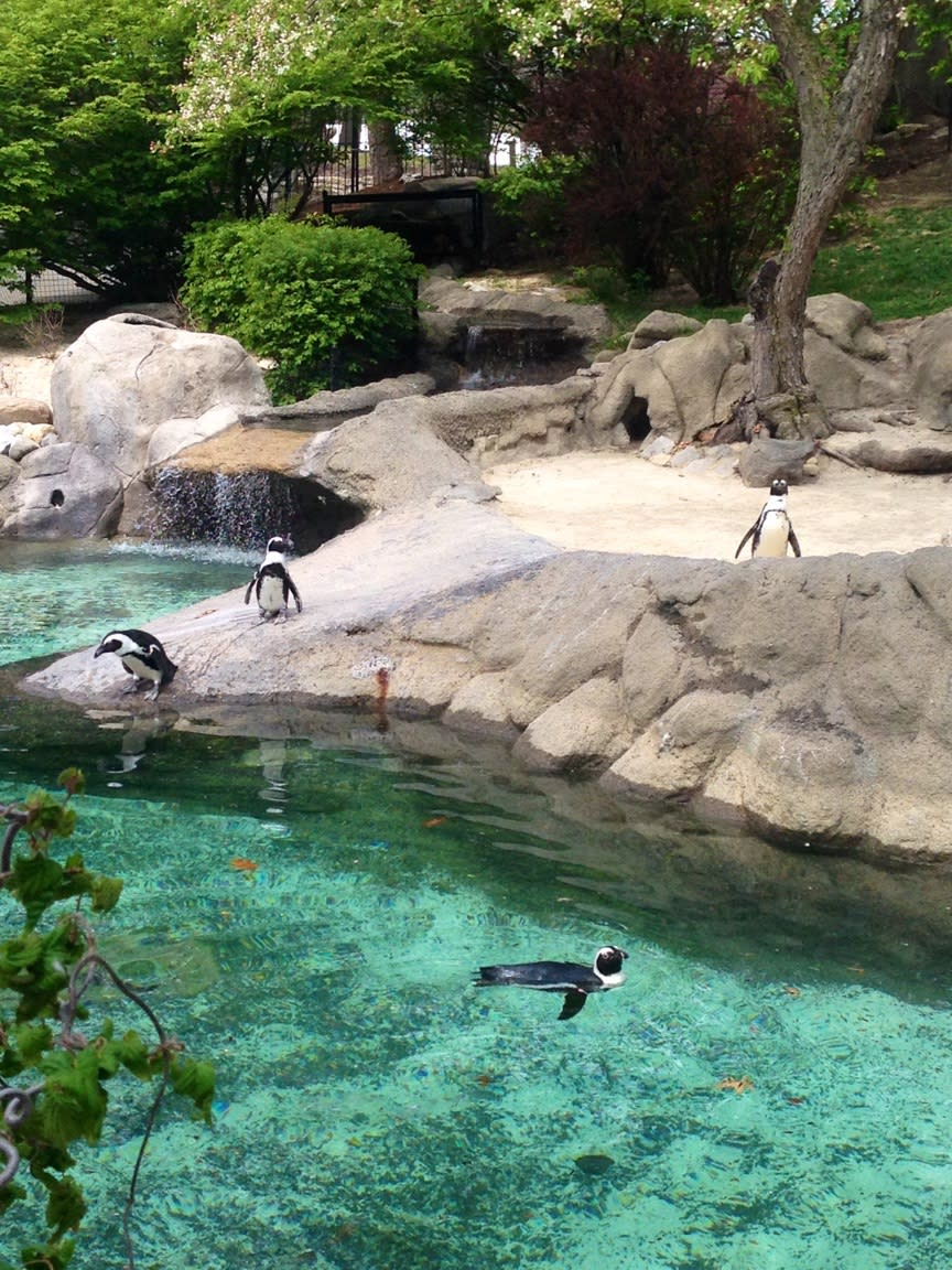 Exploring the Fort Wayne Children's Zoo is a great way to spend an afternoon - you might even get to watch the penguins play!