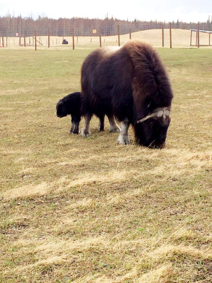 Musk Ox Mothers