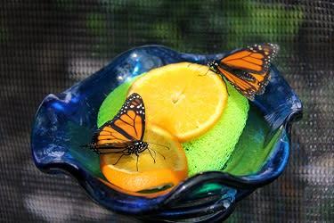 NCG butterflies