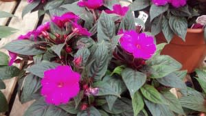 These beautiful New Guinea Impatiens at Cox's Plant Farm will look fantastic in our yard.