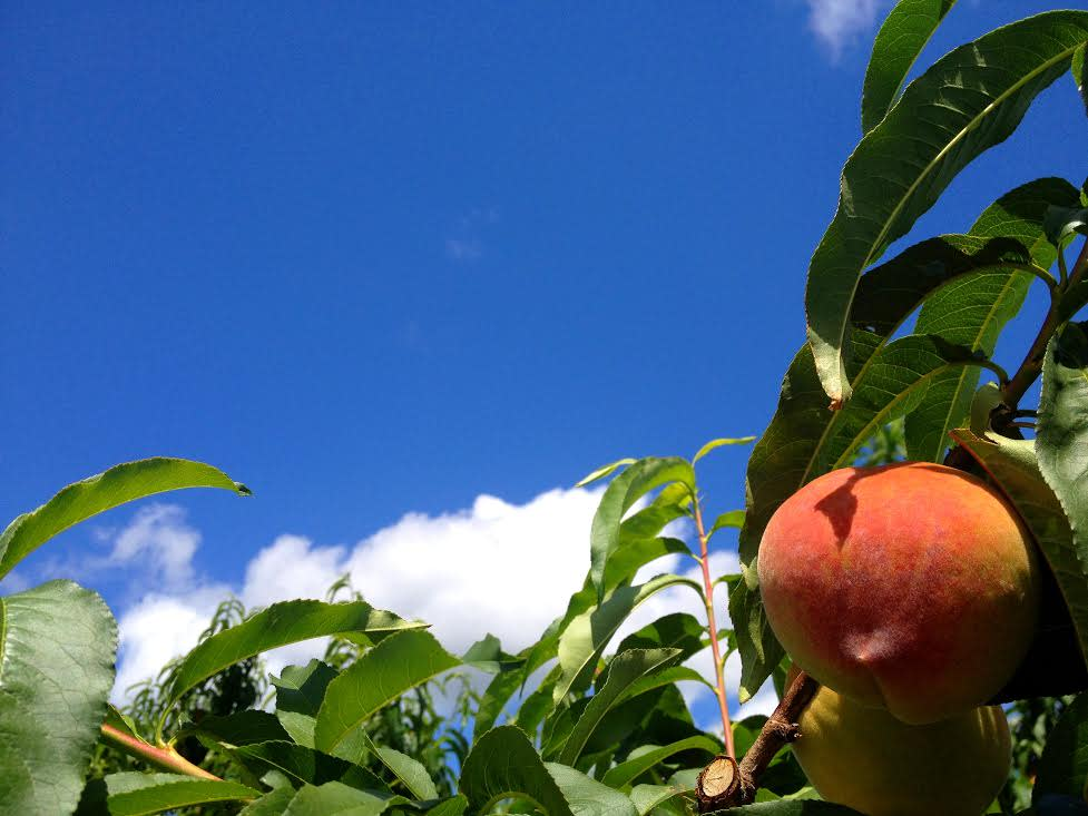 Ripe peaches at Chiles Orchard